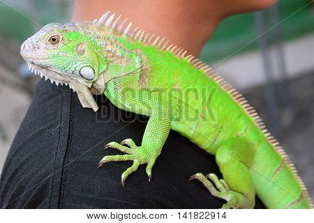 Green Iguana portrait Closeup on shoulder, Closeup of green Iguana