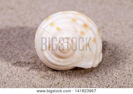 Single sea shell of marine snail lying on the sand close up.