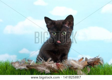 black kitten with green eyes licking mouth grass foreground with feathers strewn about as if remains of a bird just eaten blue background sky with clouds.