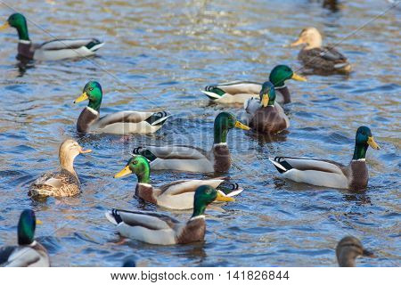 flock of ducks swimming in the water