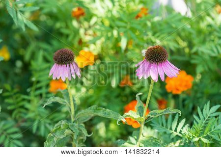 Echinacea flowers.  This photo was taken in a garden not far from Kiev.