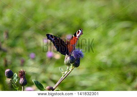 Beauty red butterfly on a spring burdock