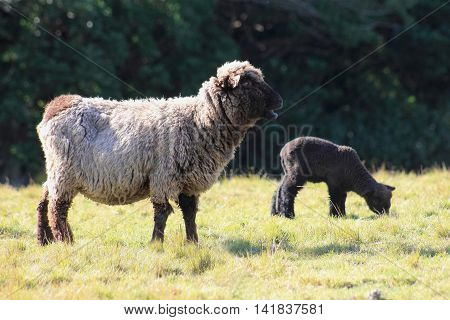 A black sheep and lamb in New Zealand