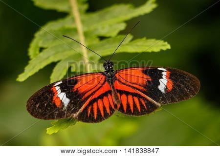 Heliconius butterfly (Heliconius erato sp) in Mindo, Ecuador