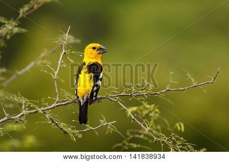 Southern Yellow Grosbeak, at the morning light in Ecuador