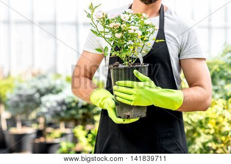 Portrait of a handsome gardener holding a pot with flower in the greenhouse. Close up view focused on the hands and flower
