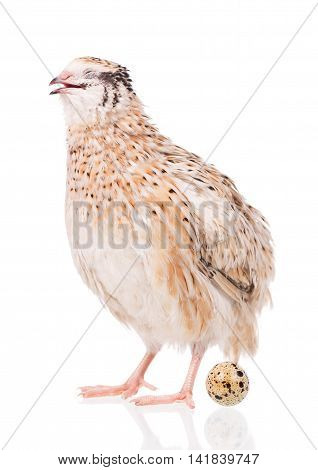 Cute quail with egg isolated over white background