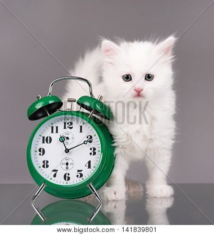 Cute fluffy kitten with alarm clock isolated over grey background