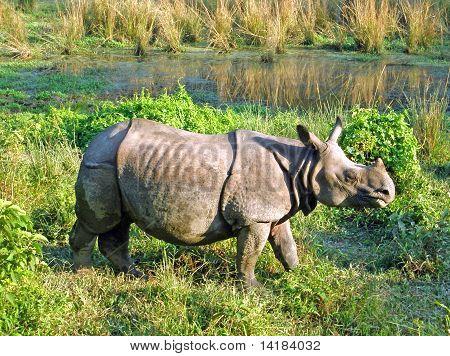 Rinoceronte-indiano um cornudo no Royal Chitwan National Park, no Nepal