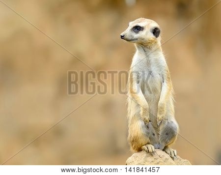 Cute Meerkat (Suricata Suricatta) on stone guards his territory. The Meerkat with brown sandy or desert background and copy space on left side.