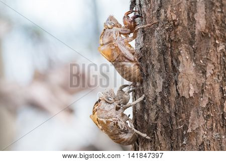 two cicada slough holding in the tree husk of cicada closeup