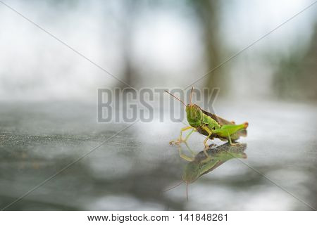 closeup of the green grasshopper macro nature of insects