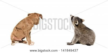 Pitbull puppy and raccoon sitting together, rear view, isolated on white background