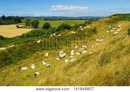 OSWESTRY ENGLAND - AUGUST 7: Flock of sheep resting on a hot summer August day in Shropshire farmland. On 7th August 2016. In Oswestry Shropshire England.