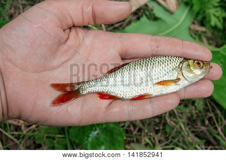 Single Common Rudd Fish In Hand.