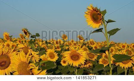 Sunflower close up. Bright yellow sunflowers. Sunflower background.