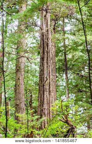 Old Growth Evergreens in the Pacific Northwest