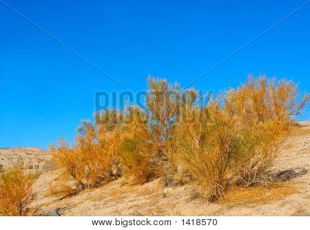 California Sagebrush At Death Valley National Park