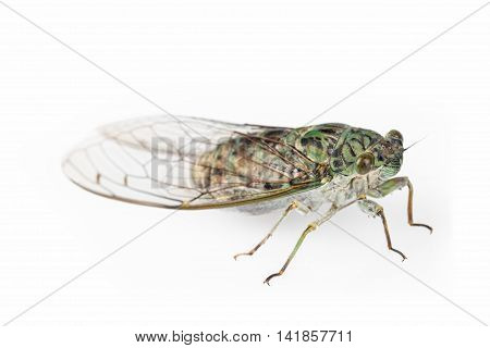 green cicada isolated on a white background