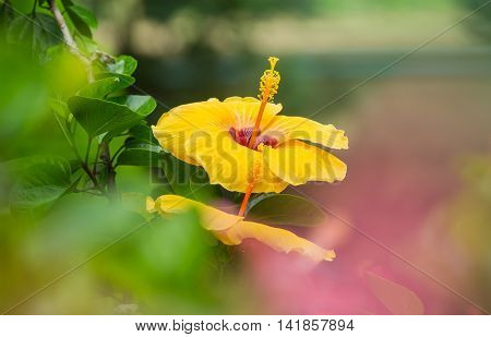 beautiful yellow Hibiscus on nature Green background. Hibiscus as a species with large size.