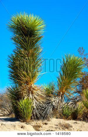 Joshua Tree In Death Valley National Park, California