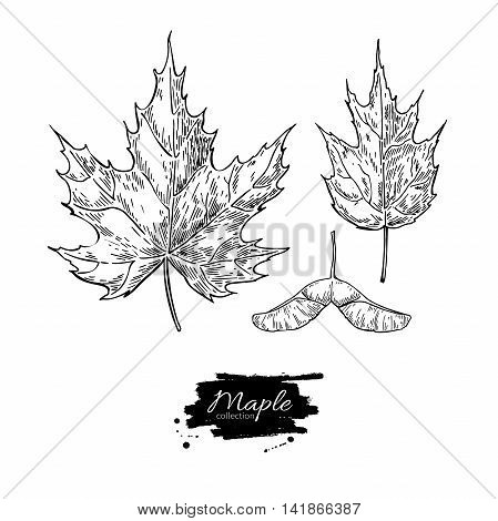 Vector maple leaves and seed drawing set. Autumn elements. Hand drawn detailed botanical illustration. Vintage fall seasonal decor. Great for label sign icon seasonal decor