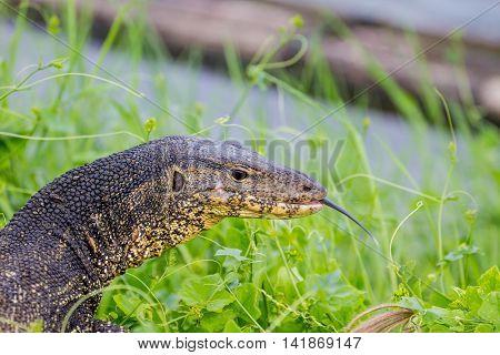 Close Up Water Monitor Lizard