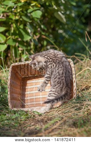 scottish fold young kitten seats in the basket