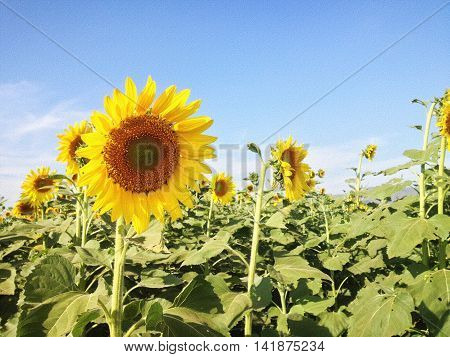 Texture Background Of Sunflower Field And Blue Sky With Puffy Clouds