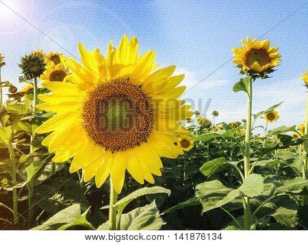 Texture Sunflower In Sunflower Field Under Blue Sky Background
