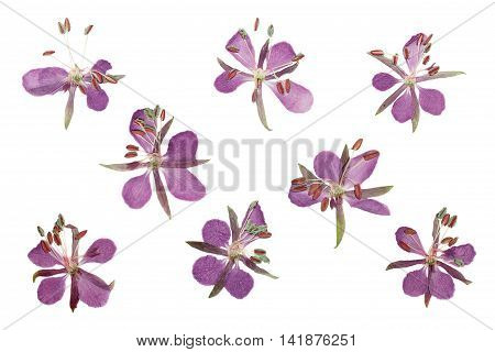 Pressed and dried delicate purple flowers willow-herb (epilobium). Isolated on white background. For use in scrapbooking floristry (oshibana) or herbarium.