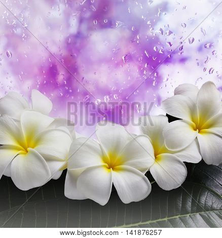 Sweet Flower Frangipani Or Pumeria Bunch And Green Leaf On Water Drop
