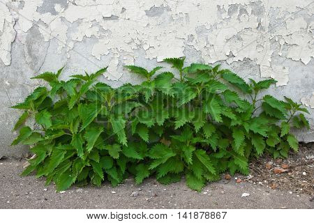 Nettles Near The Wall On Spring Day
