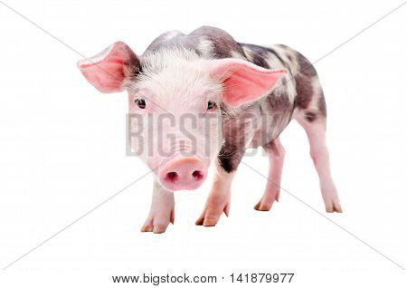 Portrait of a funny curious pig standing isolated on white background