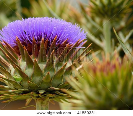 Wild artichoke flower in full splendor in late spring