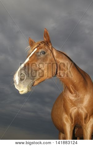Funny portrait of sorrel horse in overcast day
