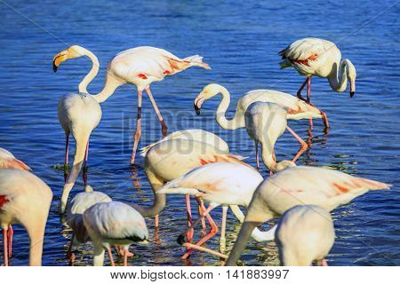 Sunset in national park of Kamargue.  Delta of Rhone, Provence, France. Pack of pink flamingos look for a forage in lake