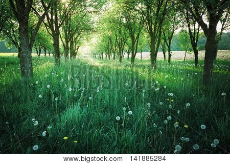 Green grass in orchard