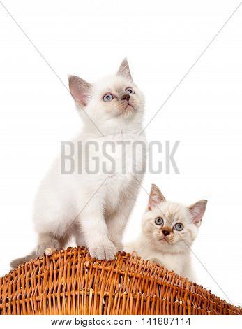 Portrait of two British Shorthair Kittens sitting, 8 weeks old, color point color.