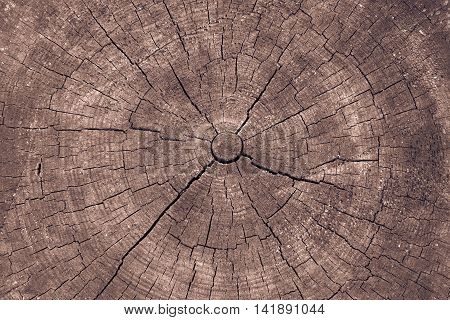 wooden transverse texture with cracks on the old stump closeup for a natural abstract background of brown color