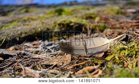 pigeon feather in the moss pine needles and leaves and last year