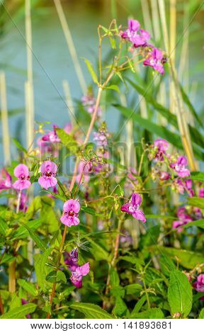 Closeup of a budding and dark pink blossoming Himalayan Balsam or Impatiens glandulifera plant on the waterfront of a creek in a Dutch nature reserve in the summer season.