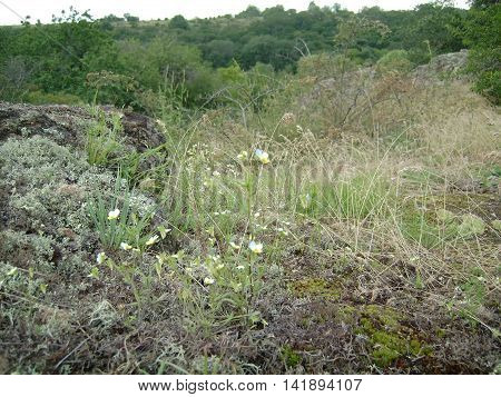 pansy flowers growing on rocks in the grass