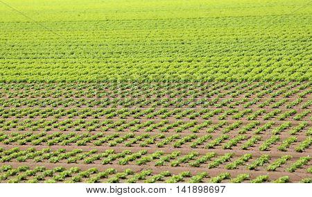 Field Of Green Lettuce Grown On Sandy Soil In Summer