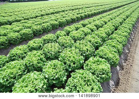Field Of Green Lettuce Grown On Soil