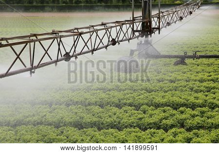sprinklering system of a cultivated field of green lettuce in summer