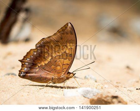 Closeup brown butterfly on sand at Pang Sida National Park Sa Kaeo Thailand