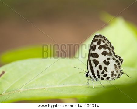 Closeup white butterfly with lack wings on green leaf at Pang Sida National Park Sa Kaeo Thailand