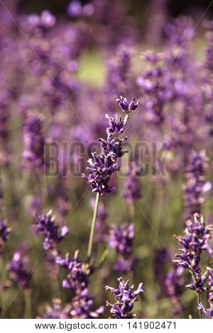 Close up of lavender ready to pick up in a field