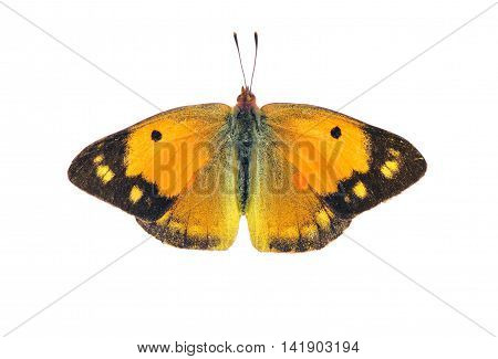 Dark clouded yellow butterfly - female on white background